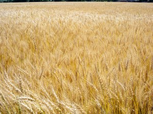 gluten wheat fieldADHD and Gluten